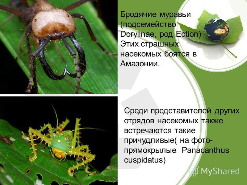Бродячие муравьи (подсемейство Dorylinae, род Ection) Этих страшных насекомых боятся в Амазонии. Среди представителей других отрядов насекомых также встречаются такие причудливые( на фото- прямокрылые Panacanthus cuspidatus)