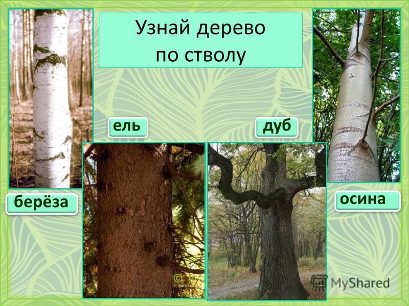 Узнай дерево по стволу берёза осина ель дуб