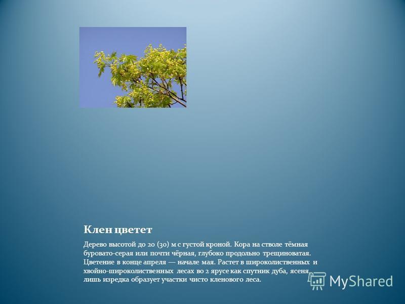 Клен цветет Дерево высотой до 20 (30) м с густой кроной. Кора на стволе тёмная буровато-серая или почти чёрная, глубоко продольно трещиноватая. Цветение в конце апреля начале мая. Растет в широколиственных и хвойно-широколиственных лесах во 2 ярусе к