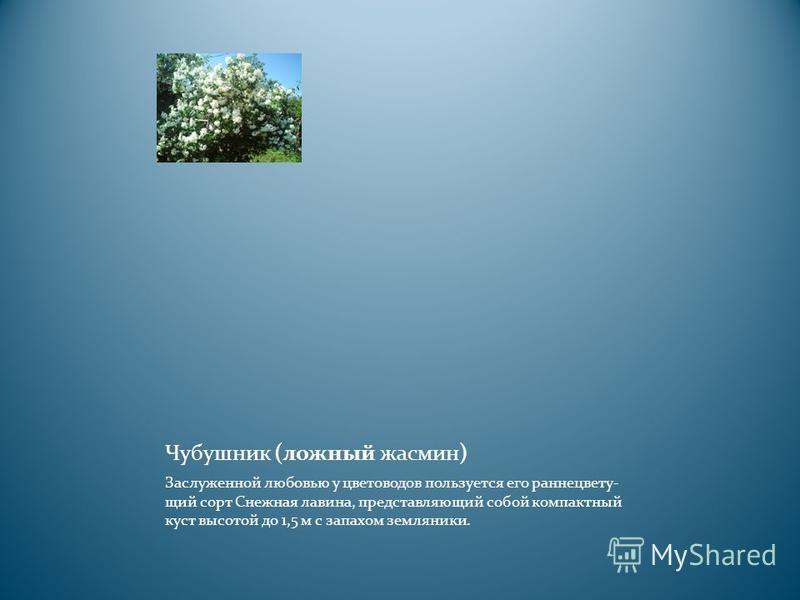 Чубушник (ложный жасмин) Заслуженной любовью у цветоводов пользуется его ранние цветущий сорт Снежная лавина, представляющий собой компактный куст высотой до 1,5 м с запахом земляники.