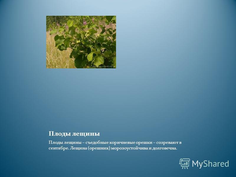 Плоды лещины Плоды лещины – съедобные коричневые орешки – созревают в сентябре. Лещина (орешник) морозоустойчива и долговечна.