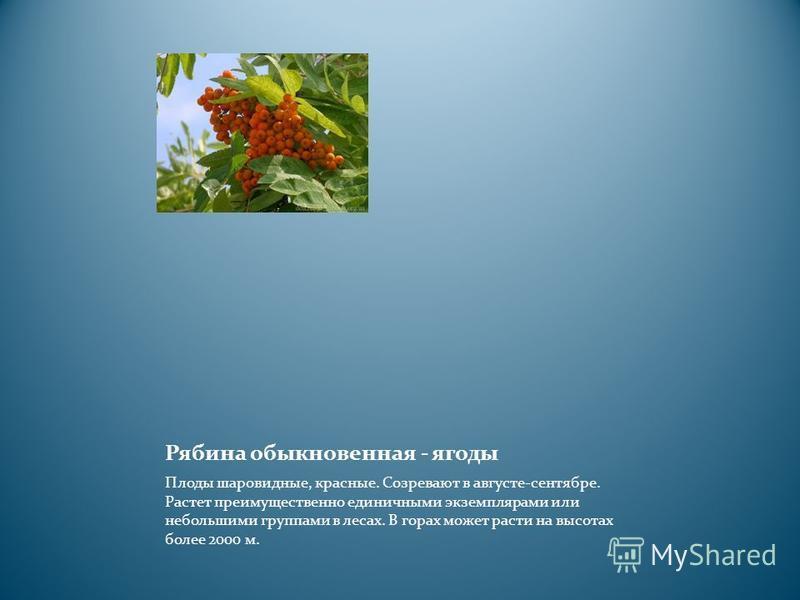 Рябина обыкновенная - ягоды Плоды шаровидные, красные. Созревают в августе-сентябре. Растет преимущественно единичными экземплярами или небольшими группами в лесах. В горах может расти на высотах более 2000 м.