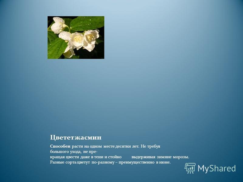 Цветет жасмин Способен расти на одном месте десятки лет. Не требуя большого ухода, не пре кращая цвести даже в тени и стойко выдерживая зимние морозы. Разные сорта цветут по-разному – преимущественно в июне.