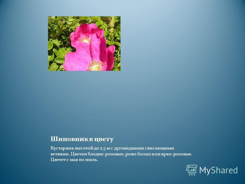 Шиповник в цвету Кустарник высотой до 2,5 м с дуговидными свисающими ветвями. Цветки бледно-розовые, реже белые или ярко-розовые. Цветет с мая по июль.