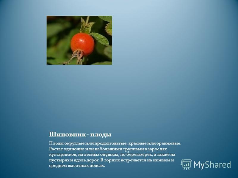 Шиповник - плоды Плоды округлые или продолговатые, красные или оранжевые. Растет одиночно или небольшими группами в зарослях кустарников, на лесных опушках, по берегам рек, а также на пустырях и вдоль дорог. В горных встречается на нижнем и среднем в