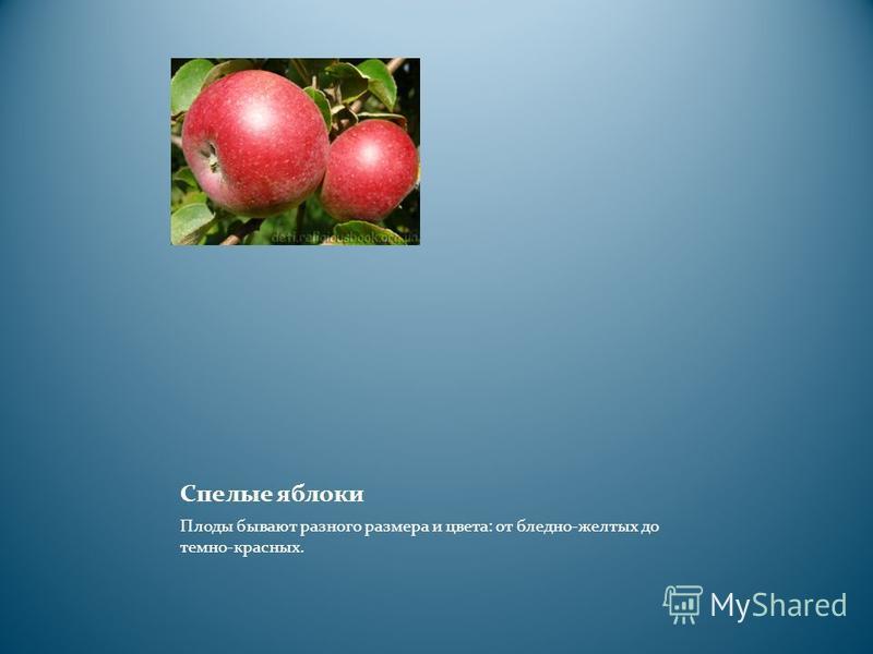 Спелые яблоки Плоды бывают разного размера и цвета: от бледно-желтых до темно-красных.