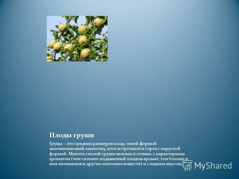Плоды груши Груша – это средних размеров плод, своей формой напоминающий лампочку, хотя встречаются сорта с округлой формой. Мякоть спелой груши нежная и сочная, с характерным ароматом (чем сильнее издаваемый плодом аромат, тем больше в нем витаминов