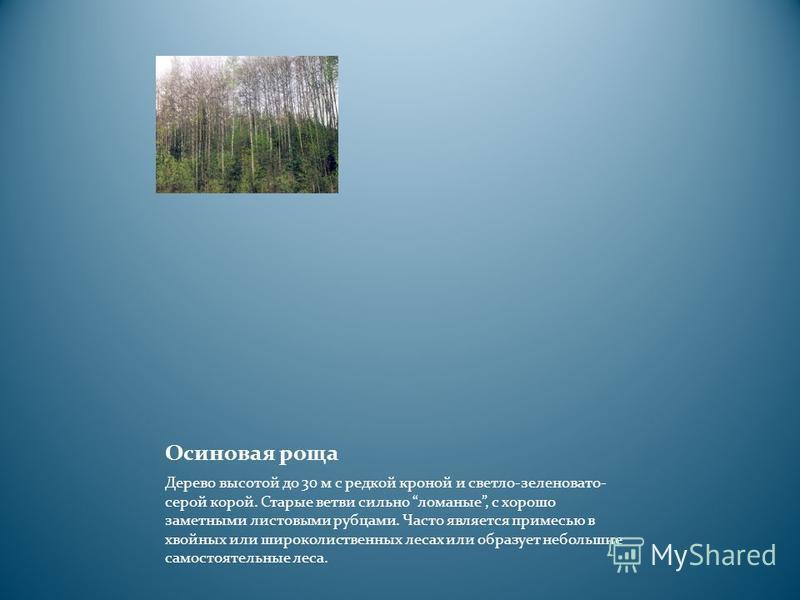Осиновая роща Дерево высотой до 30 м с редкой кроной и светло-зеленовато- серой корой. Старые ветви сильно ломаные, с хорошо заметными листовыми рубцами. Часто является примесью в хвойных или широколиственных лесах или образует небольшие самостоятель