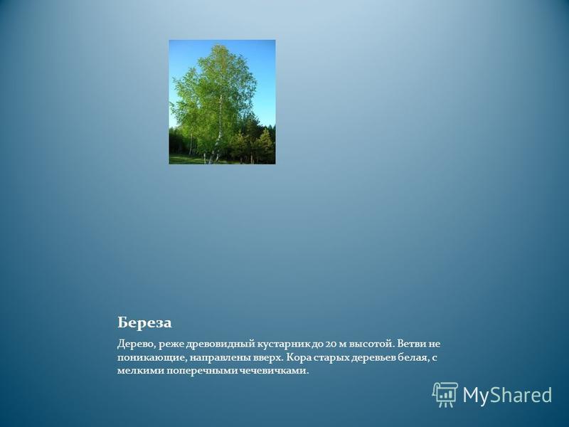 Береза Дерево, реже древовидный кустарник до 20 м высотой. Ветви не поникающие, направлены вверх. Кора старых деревьев белая, с мелкими поперечными чечевичками.