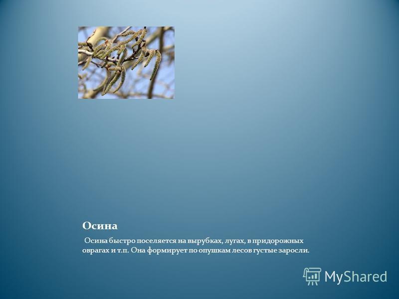 Осина Осина быстро поселяется на вырубках, лугах, в придорожных оврагах и т.п. Она формирует по опушкам лесов густые заросли.