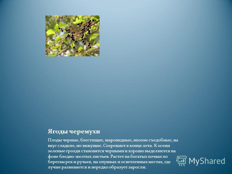 Ягоды черемухи Плоды черные, блестящие, шаровидные, вполне съедобные, на вкус сладкие, но вяжущие. Созревают в конце лета. К осени зеленые грозди становятся черными и хорошо выделяются на фоне бледно-желтых листьев. Растет на богатых почвах по берега