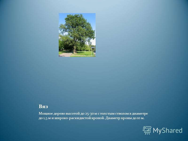 Вяз Мощное дерево высотой до 25-30 м с толстым стволом в диаметре до 1,5 м и широко-раскидистой кроной. Диаметр кроны до 10 м.