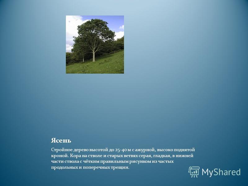Ясень Стройное дерево высотой до 25-40 м с ажурной, высоко поднятой кроной. Кора на стволе и старых ветвях серая, гладкая, в нижней части ствола с чётким правильным рисунком из частых продольных и поперечных трещин.