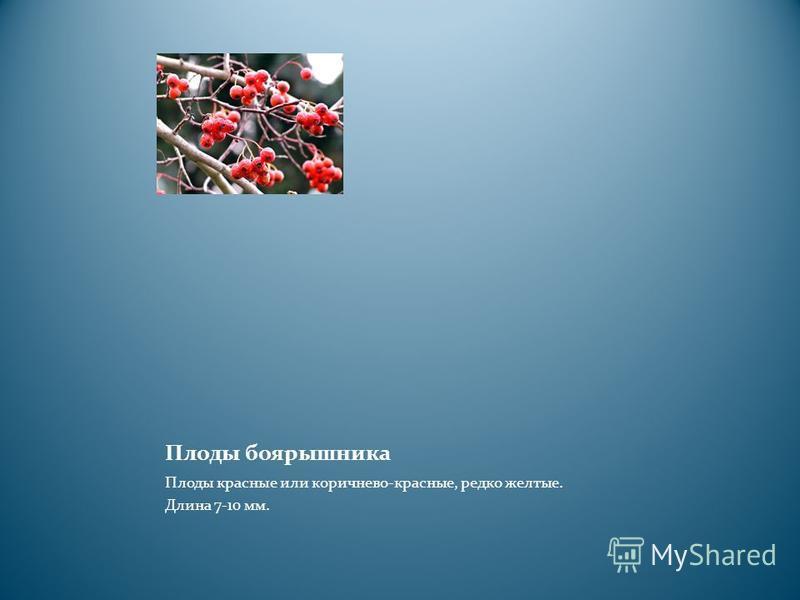 Плоды боярышника Плоды красные или коричнево-красные, редко желтые. Длина 7-10 мм.