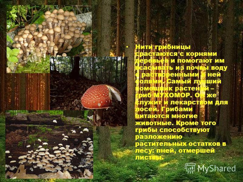 Нити грибницы срастаются с корнями деревьев и помогают им всасывать из почвы воду с растворенными в ней солями. Самый лучший помощник растений – гриб МУХОМОР. Он же служит и лекарством для лосей. Грибами питаются многие животные. Кроме того грибы спо