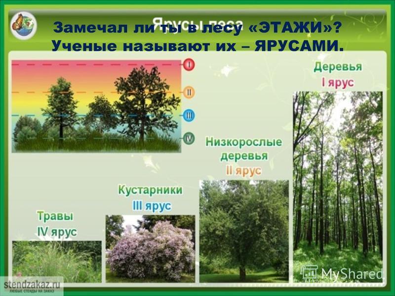 Замечал ли ты в лесу «ЭТАЖИ»? Ученые называют их – ЯРУСАМИ.
