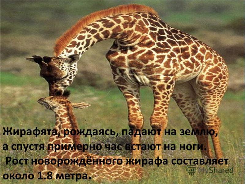 Жирафята, рождаясь, падают на землю, а спустя примерно час встают на ноги. Рост новорождённого жирафа составляет около 1.8 метра.