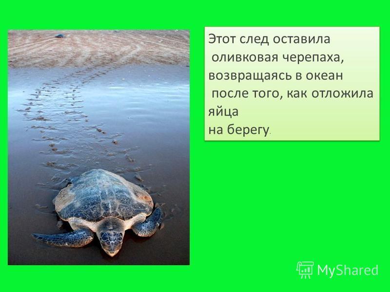 Этот след оставила оливковая черепаха, возвращаясь в океан после того, как отложила яйца на берегу. Этот след оставила оливковая черепаха, возвращаясь в океан после того, как отложила яйца на берегу.