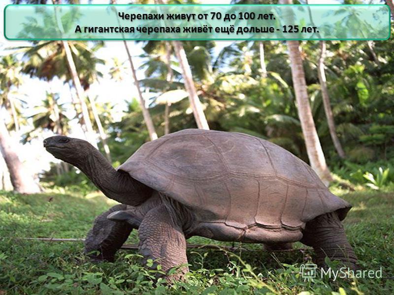Черепахи живут от 70 до 100 лет. А гигантская черепаха живёт ещё дольше - 125 лет. Черепахи живут от 70 до 100 лет. А гигантская черепаха живёт ещё дольше - 125 лет.