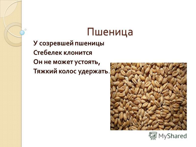 Пшеница У созревшей пшеницы Стебелек клонится Он не может устоять, Тяжкий колос удержать.