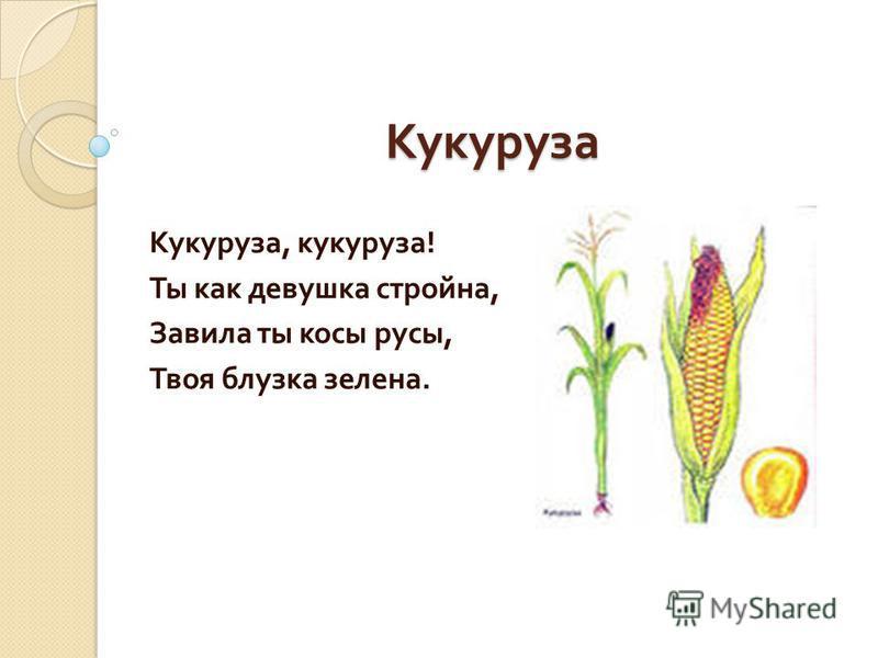 Кукуруза Кукуруза, кукуруза ! Ты как девушка стройна, Завила ты косы русы, Твоя блузка зелена.