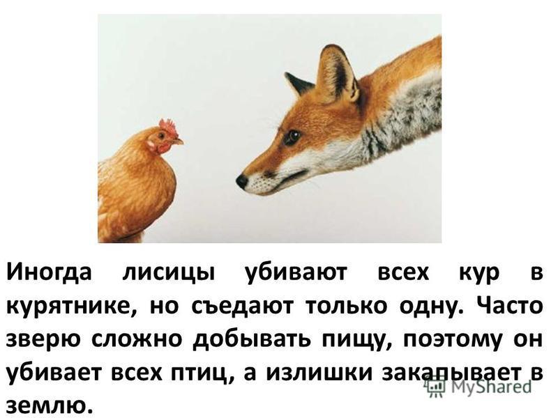 Иногда лисицы убивают всех кур в курятнике, но съедают только одну. Часто зверю сложно добывать пищу, поэтому он убивает всех птиц, а излишки закапывает в землю.