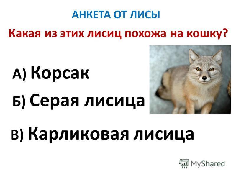 АНКЕТА ОТ ЛИСЫ Какая из этих лисиц похожа на кошку? А) Корсак Б) Серая лисица В) Карликовая лисица