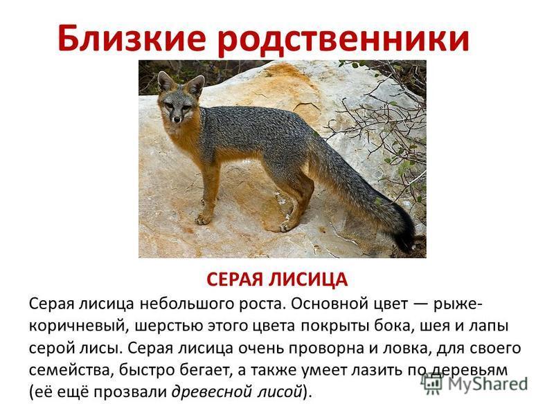 Близкие родственники СЕРАЯ ЛИСИЦА Серая лисица небольшого роста. Основной цвет рыже- коричневый, шерстью этого цвета покрыты бока, шея и лапы серой лисы. Серая лисица очень проворна и ловка, для своего семейства, быстро бегает, а также умеет лазить п