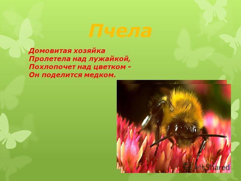 Пчела Домовитая хозяйка Пролетела над лужайкой, Похлопочет над цветком - Он поделится медком.