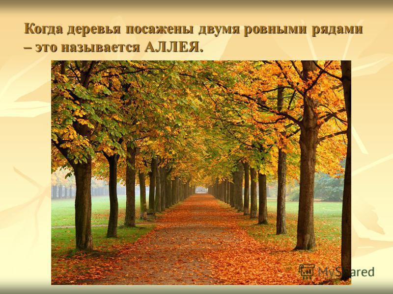 Когда деревья посажены двумя ровными рядами – это называется АЛЛЕЯ.