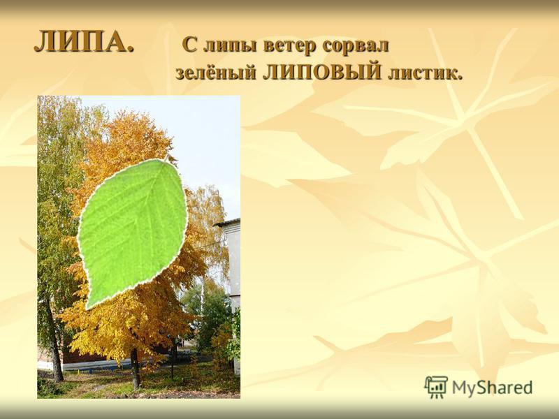 ЛИПА. С липы ветер сорвал зелёный ЛИПОВЫЙ листик.