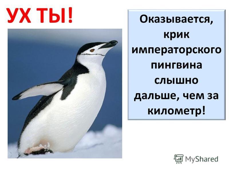 УХ ТЫ! Оказывается, крик императорского пингвина слышно дальше, чем за километр!
