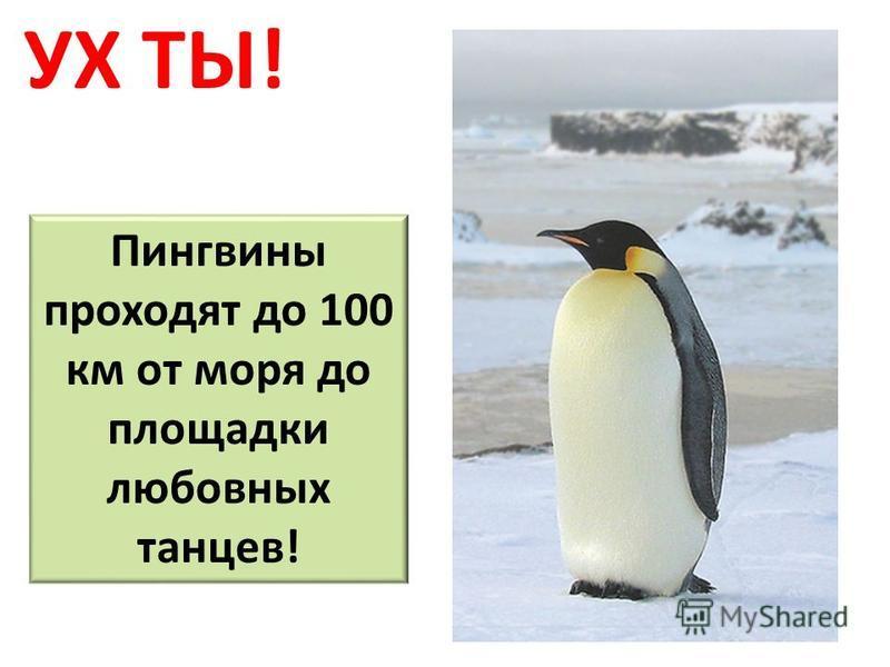 УХ ТЫ! Пингвины проходят до 100 км от моря до площадки любовных танцев!