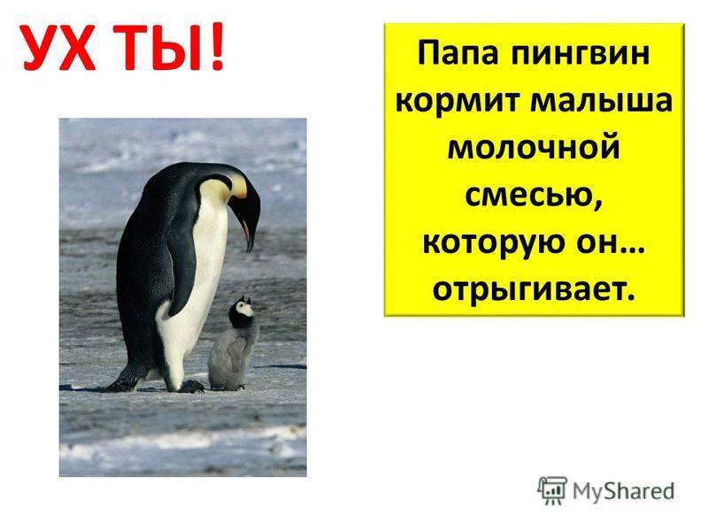 УХ ТЫ! Папа пингвин кормит малыша молочной смесью, которую он… отрыгивает.