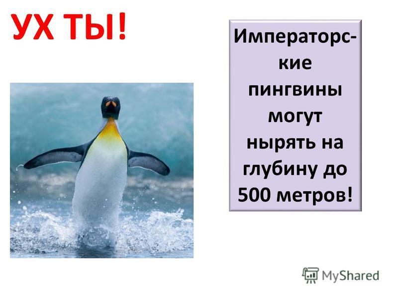УХ ТЫ! Императорс- кие пингвины могут нырять на глубину до 500 метров!