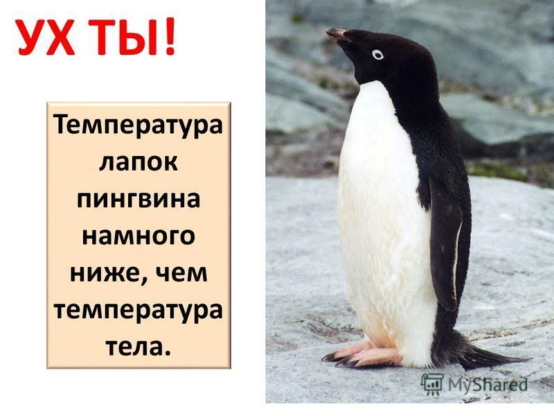 Температура лапок пингвина намного ниже, чем температура тела.