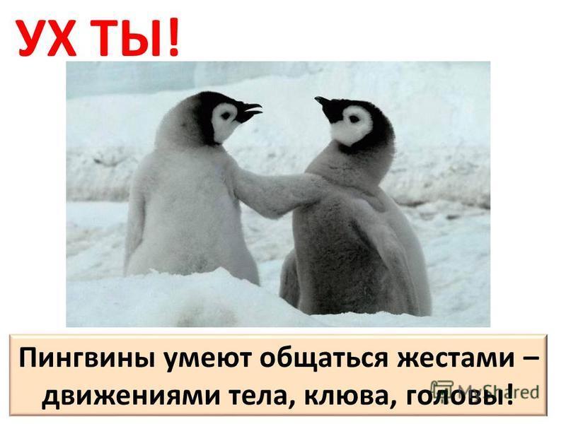 УХ ТЫ! Пингвины умеют общаться жестами – движениями тела, клюва, головы!