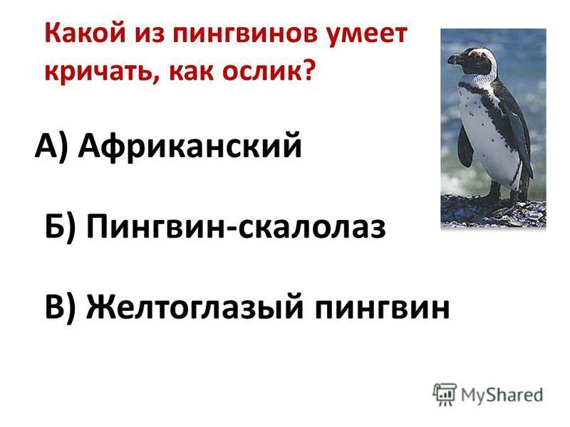 Какой из пингвинов умеет кричать, как ослик? А) Африканский Б) Пингвин-скалолаз В) Желтоглазый пингвин