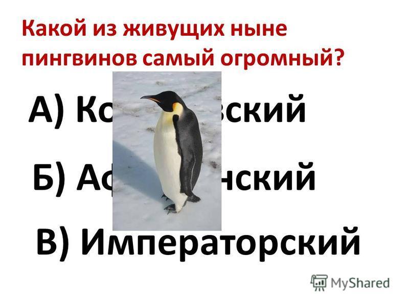 Какой из живущих ныне пингвинов самый огромный? А) Королевский Б) Африканский В) Императорский