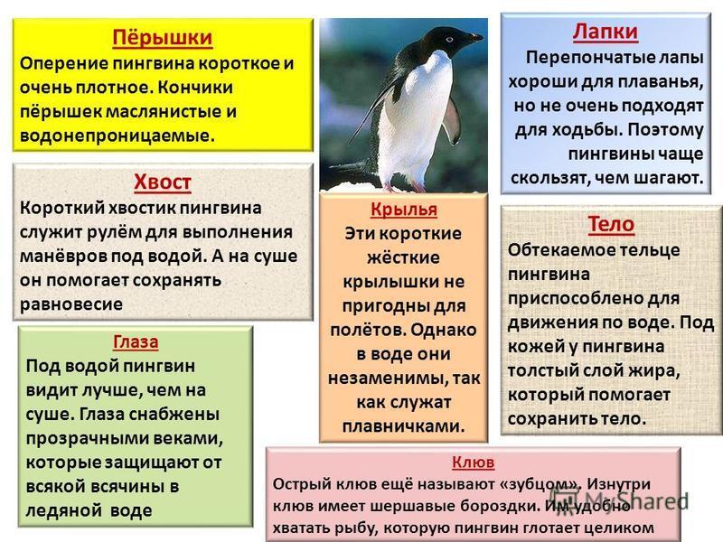 Пёрышки Оперение пингвина короткое и очень плотное. Кончики пёрышек маслянистые и водонепроницаемые. Лапки Перепончатые лапы хороши для плаванья, но не очень подходят для ходьбы. Поэтому пингвины чаще скользят, чем шагают. Хвост Короткий хвостик пинг