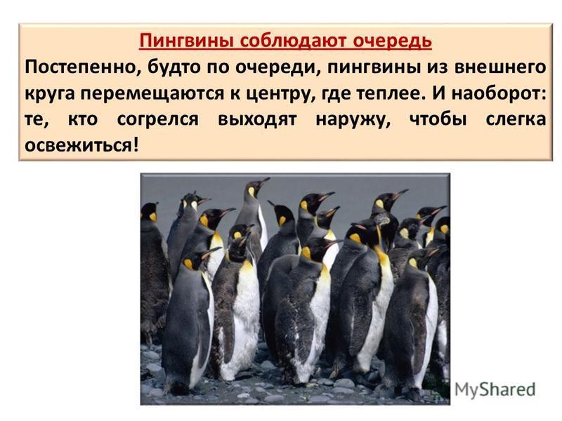Пингвины соблюдают очередь Постепенно, будто по очереди, пингвины из внешнего круга перемещаются к центру, где теплее. И наоборот: те, кто согрелся выходят наружу, чтобы слегка освежиться!
