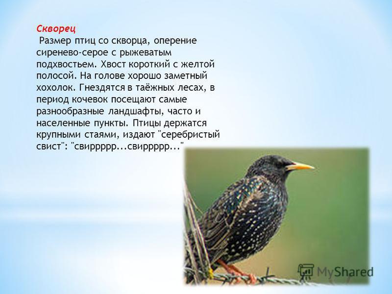 Скворец Размер птиц со скворца, оперение сиренево-серое с рыжеватым подхвостьем. Хвост короткий с желтой полосой. На голове хорошо заметный хохолок. Гнездятся в таёжных лесах, в период кочевок посещают самые разнообразные ландшафты, часто и населенны