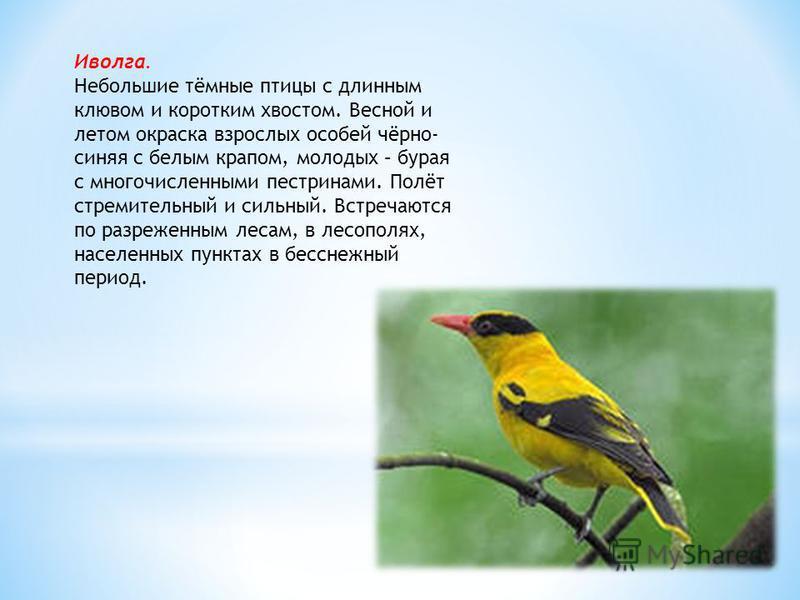 Иволга. Небольшие тёмные птицы с длинным клювом и коротким хвостом. Весной и летом окраска взрослых особей чёрно- синяя с белым крапом, молодых – бурая с многочисленными пестринами. Полёт стремительный и сильный. Встречаются по разреженным лесам, в л