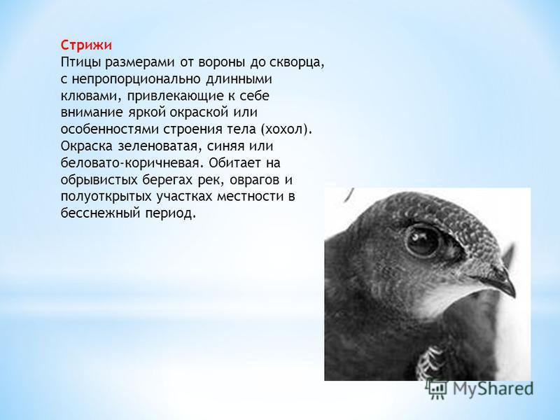 Стрижи Птицы размерами от вороны до скворца, с непропорционально длинными клювами, привлекающие к себе внимание яркой окраской или особенностями строения тела (хохол). Окраска зеленоватая, синяя или беловато-коричневая. Обитает на обрывистых берегах
