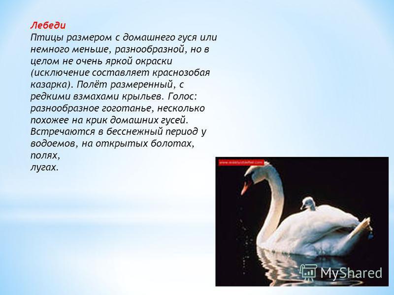 Лебеди Птицы размером с домашнего гуся или немного меньше, разнообразной, но в целом не очень яркой окраски (исключение составляет краснозобая казарка). Полёт размеренный, с редкими взмахами крыльев. Голос: разнообразное гоготанье, несколько похожее