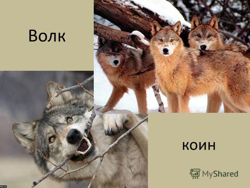 кони Волк