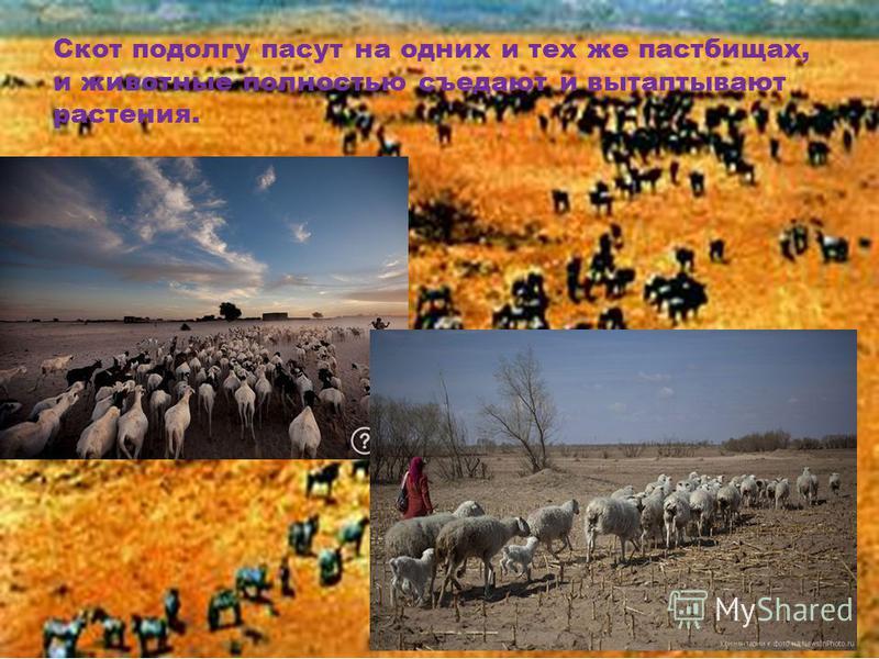 Скот подолгу пасут на одних и тех же пастбищах, и животные полностью съедают и вытаптывают растения.