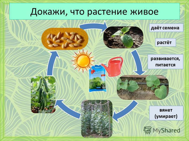 Докажи, что растение живое даёт семена растёт развивается, питается вянет (умирает)
