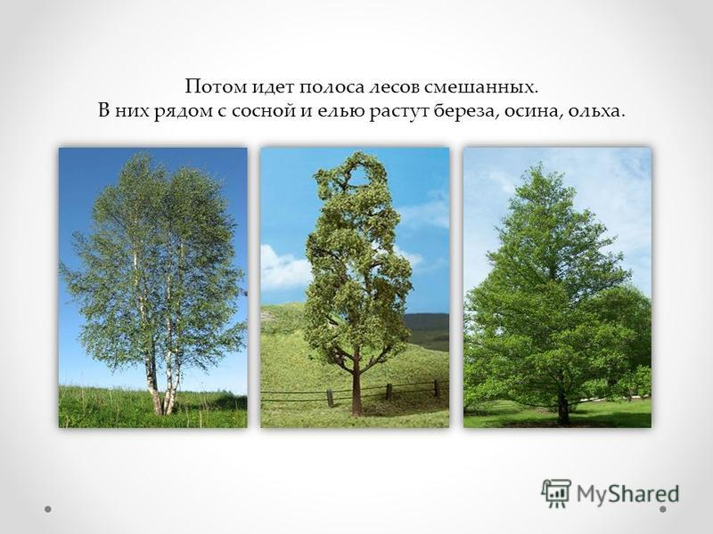 Потом идет полоса лесов смешанных. В них рядом с сосной и елью растут береза, осина, ольха.