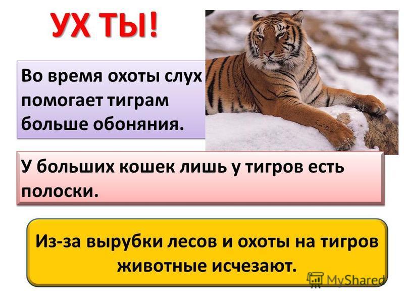 Во время охоты слух помогает тиграм больше обоняния. У больших кошек лишь у тигров есть полоски. Из-за вырубки лесов и охоты на тигров животные исчезают.